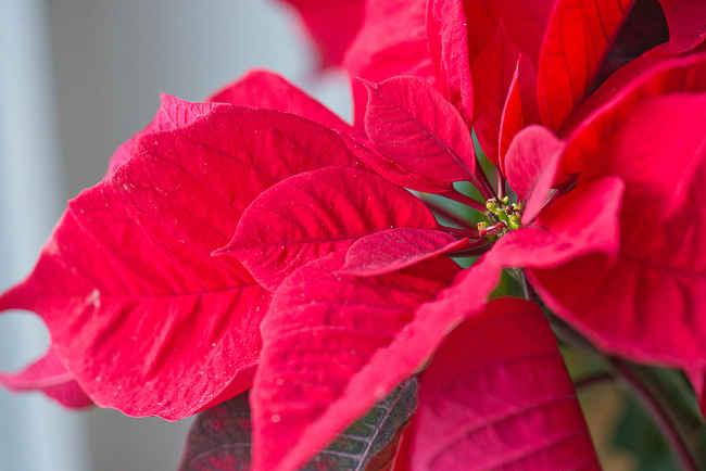 Poinsettia, Etoile de Noël  tous les conseils d\u0027entretien