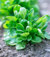 salades hiver