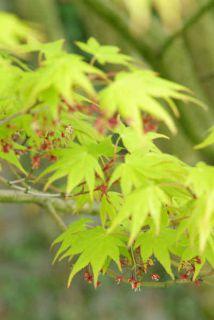 Erable_du_Japon jardin japonais