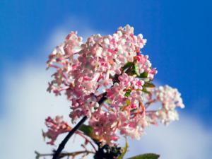 Viorne d 39 hiver superbe floraison hivernale for Floraison hiver