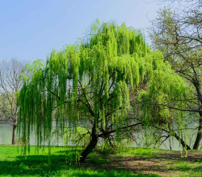 Weeping willow, a majestic tree