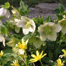 Hellebore fleur
