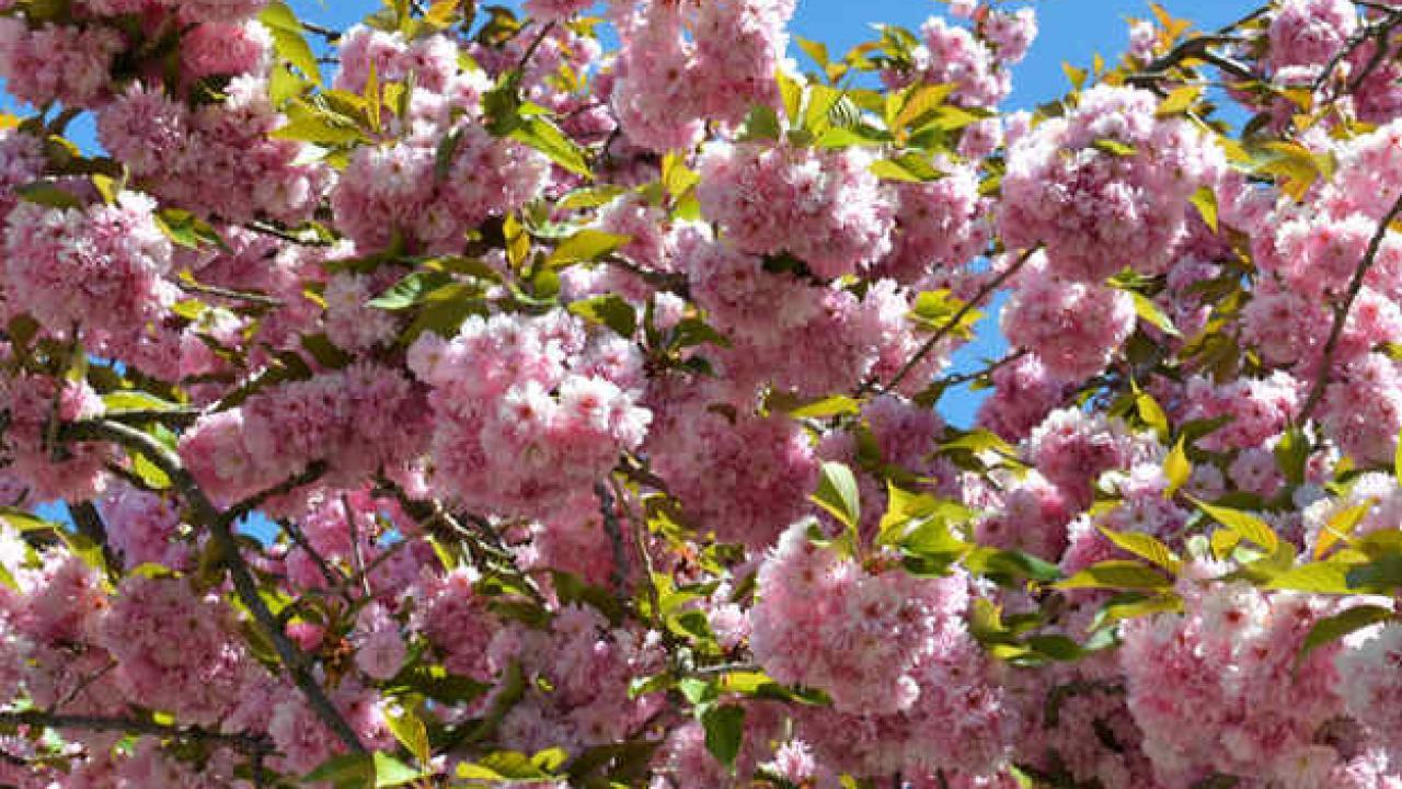 Hauteur Cerisier Du Japon cerisier à fleurs : conseils de plantation, taille et entretien