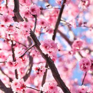 Cerisier du japon taille