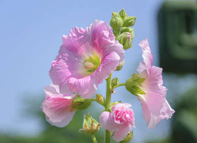 Guimauve althaea officinalis