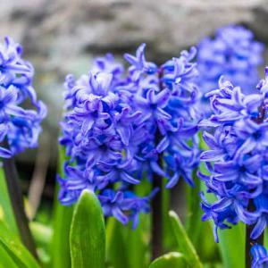 Fleurs a bulbe - Bulbe de jacinthe ...