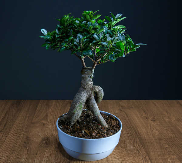 ficus ginseng pruning watering and how to care for it. Black Bedroom Furniture Sets. Home Design Ideas