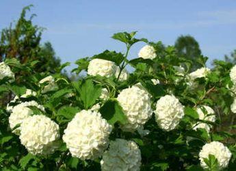 Fleur blanche boule id e d 39 image de fleur - Boule de neige plante ...