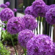 Allium giganteum - Ail géant d'ornement