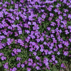 Aubri te plantation et conseils d 39 entretien - Vivace couvre sol longue floraison ...