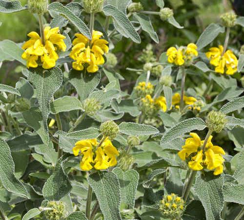 sauge de jerusalem phlomis fruticosa