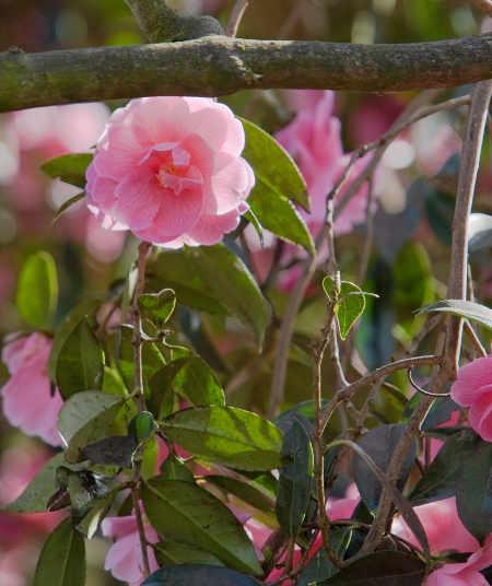 Yucca d 39 ext rieur couper la hampe apr s floraison plantes du jardin et de la maison - Entretien orchidee apres floraison ...
