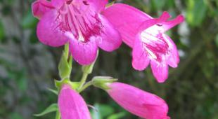 Deep pink-colored beardtongue flowers.