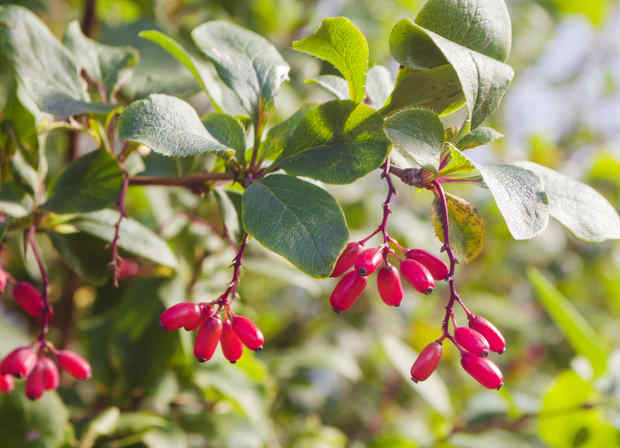 berberis epine vinette
