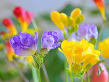 Freesia, colors and fragrance