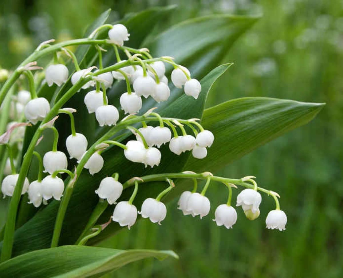 Muguet : plantation, floraison et conseils d'entretien