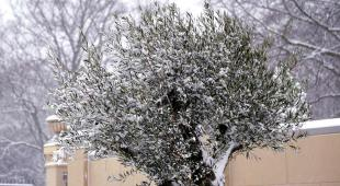 An olive tree in winter with snow.