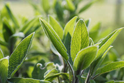 Medicinal sage, tips on how to grow it
