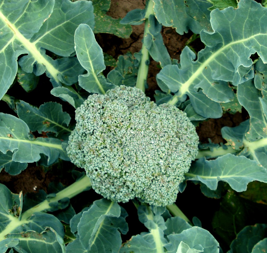 Broccoli, all there is to know about growing broccoli
