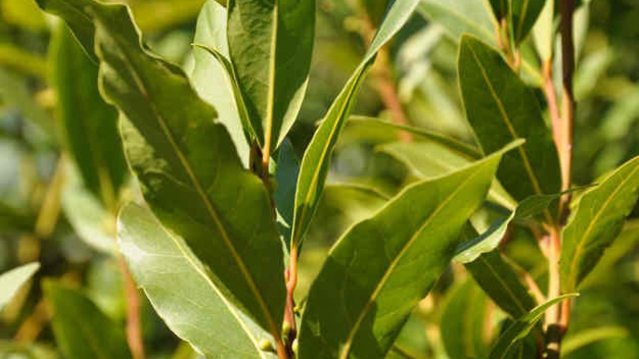 Quand Et Comment Tailler Un Houx laurier-sauce : taille, entretien et utilisation des feuilles