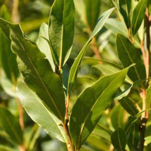 Laurier sauce taille entretien et utilisation des feuilles - Laurier comestible comment reconnaitre ...