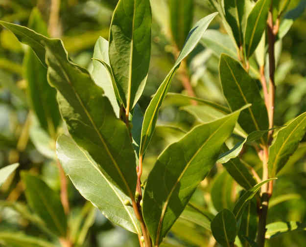 Bay laurel, a very aromatic shrub