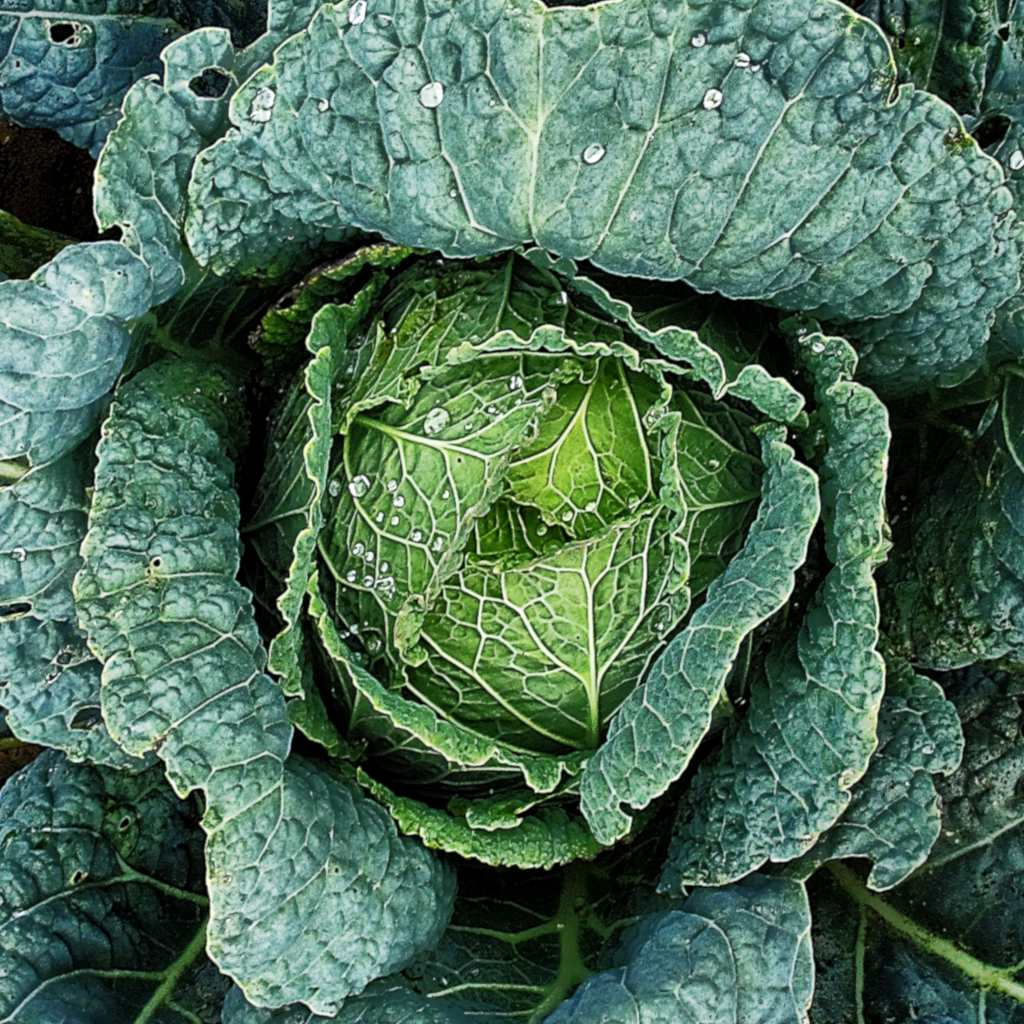 A fresh head of savoy cabbage with dew drops on leaves.