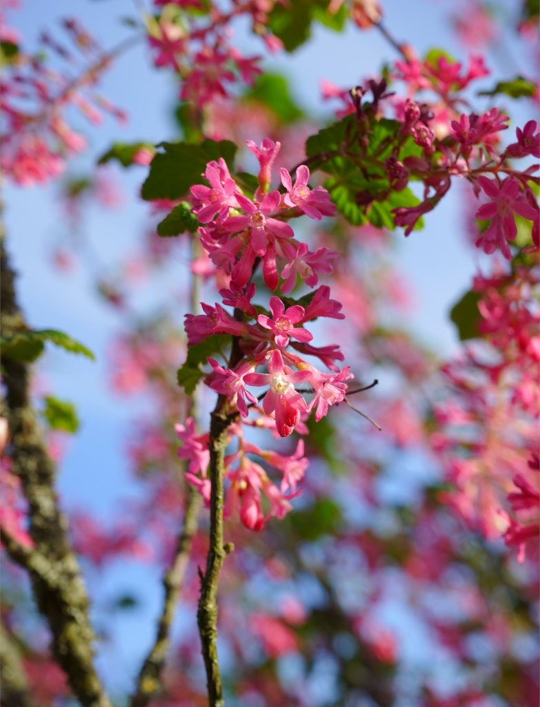 A flowering currant shrub filled with pink flowers.