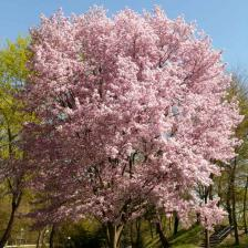 Ornamental cherry tree, one of the first to bloom