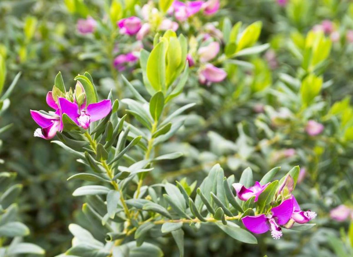 Polygala Myrtifolia Plantation Et Entretien Pour Une Belle Floraison