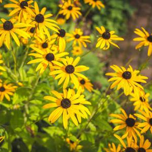 Rudbeckia sowing growing and advice on caring for it rudbeckia whether perennial or annual is a beautiful flower with summer blooming mightylinksfo