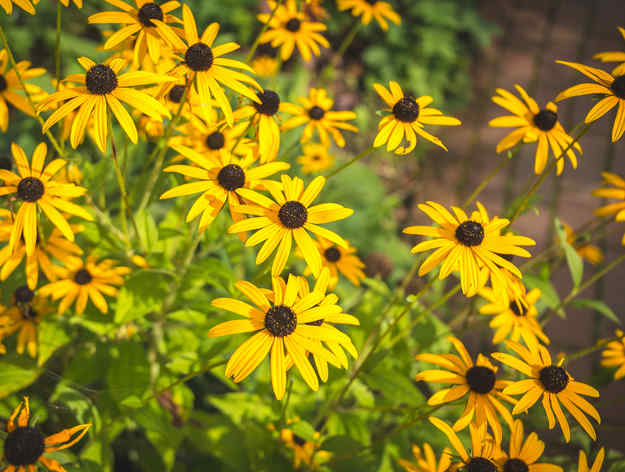 Asteraceae Nature And Garden Gardening Health And