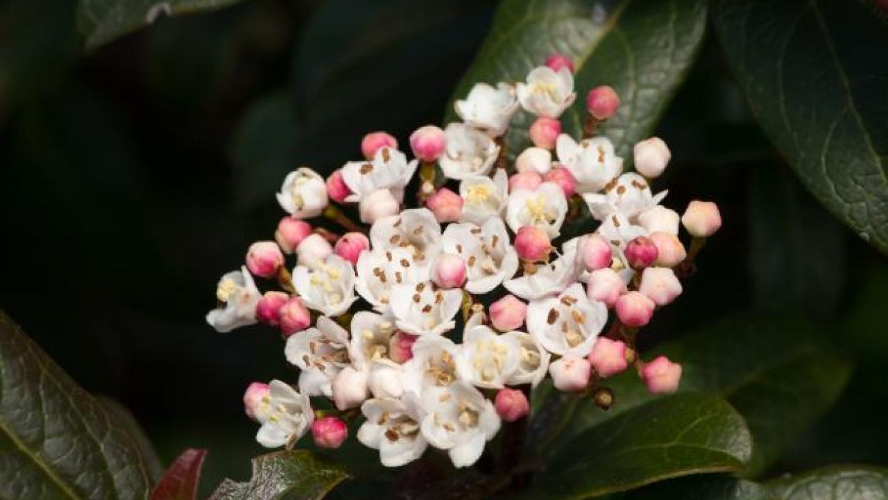 Taille Du Laurier Tin viburnum tinus : plantation, taille et conseils d'entretien