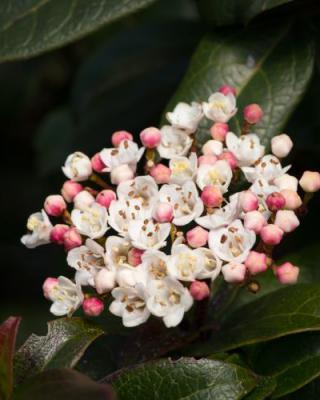 viburnum-tinus-lisarose