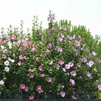 Alth a plantation taille et conseils d 39 entretien for Entretien hibiscus exterieur