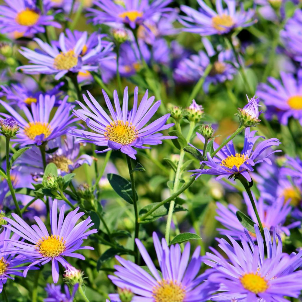 Aster, fairies in the garden