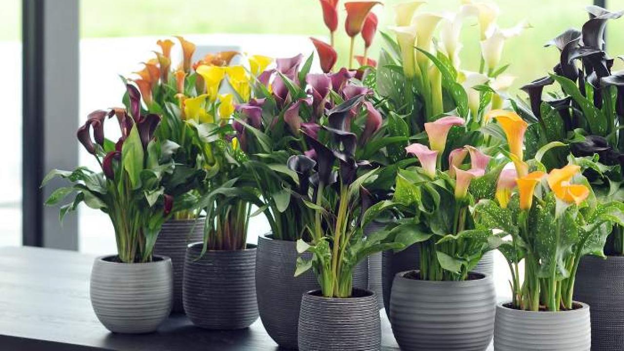 Plante D Intérieur Qui Aime La Chaleur calla et anthurium : des fleurs colorées en intérieur