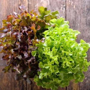Feuille de ch ne semis culture et r colte - Salade a couper qui repousse ...