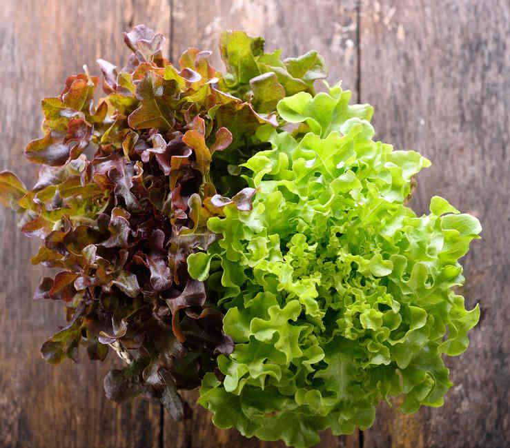Feuille de ch ne semis culture et r colte - Comment cuisiner les feuilles de betterave rouge ...
