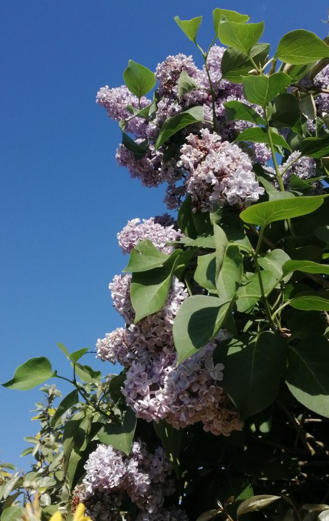 Lilac, a shrub of great beauty