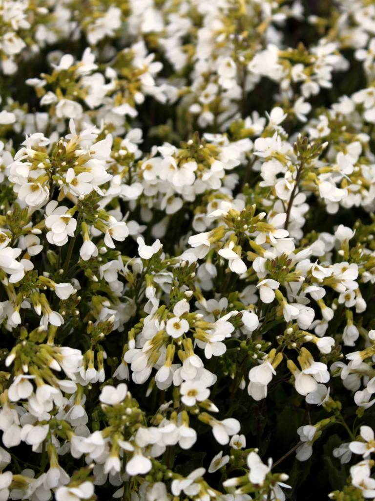 Arabis, alpine rock-cress, like a basket of silver in spring
