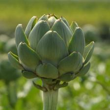 Artichoke, how to grow it