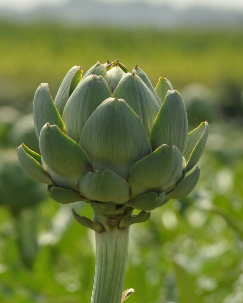 Artichoke, how to grow it
