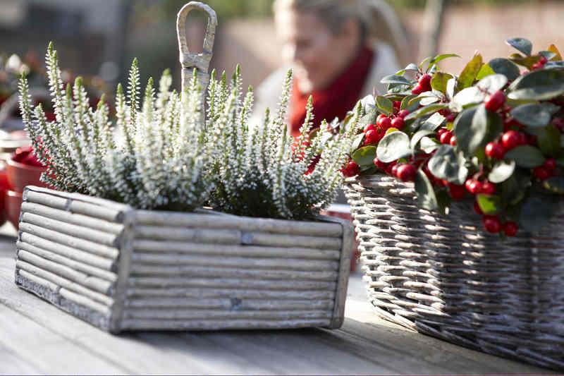 Plantes vertes pour balcon et terrasse en hiver