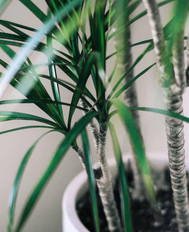 dracaena marginata entretien engrais arrosage maladies. Black Bedroom Furniture Sets. Home Design Ideas