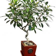 Ficus retusa, ideal as a bonsai