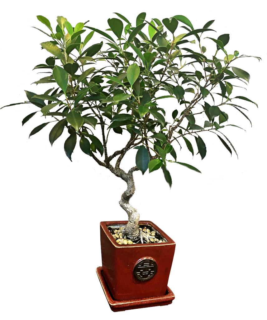Ficus retusa, ideal as a bonsai