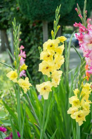 glaieul fleur