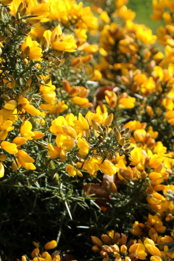 Gorse flower in full bloom filling up the whole screen.
