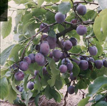 le prunier on ne le plante pas pour des prunes. Black Bedroom Furniture Sets. Home Design Ideas